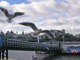 Sea Gulls at the Thames