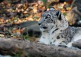 Bronx Zoo: Snow Leopards