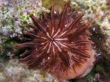 uncommon anemone