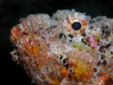 super model spotted scorpionfish