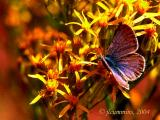 Unidentifed blue butterfly