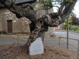 Le plus vieil arbre de France, une aubépine