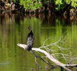 cormorant. after the bath
