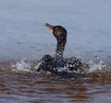 cormorant. bathing