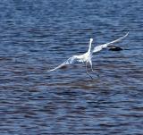 reddish egret white morph. dip fishing