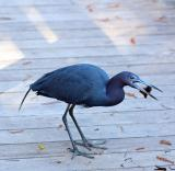 little blue heron. with crayfish number 2