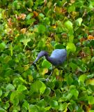 little blue heron. walking on the lettuce lake