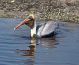 pelican. swallowing a fish