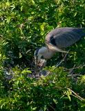 great blue heron. with chicks