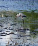 great blue heron. with yellowlegs