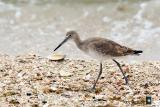 willet in shells number two