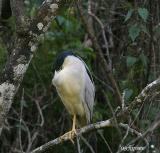 sleeping black crowned night heron