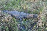 alligator in the sedge