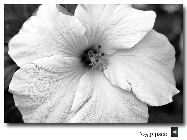 pink hibiscus in black and white