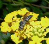 Leafcutting Bee