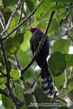 Red-Crested Malkoha  (a Philippine endemic)   Scientific name - Phaenicophaeus superciliosus   Habitat - Fairly common in lowland forest, edge and second growth.