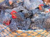 chickens, market, antigua,  guatemala