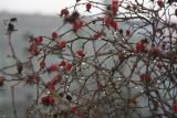 Rose hips in thaw