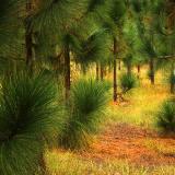 Very Long Needled Pines