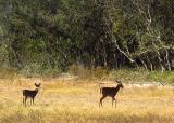 Hatteras Deer