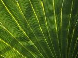 Backlit Palmetto Leaf
