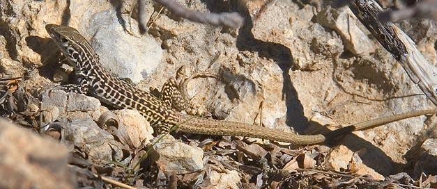 Lizard 7427