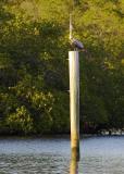 Pelican at vertical