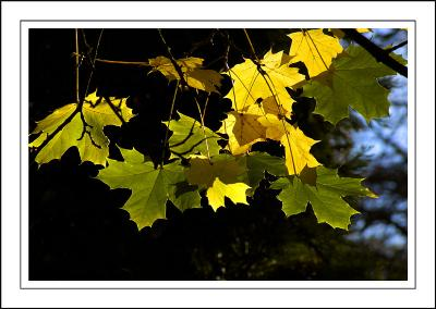 Stourhead ~ more backlit leaves