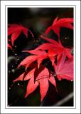 Stourhead ~ red leaves closer