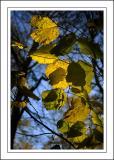 Stourhead ~ backlit leaves