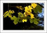 Stourhead ~ more backlit leaves
