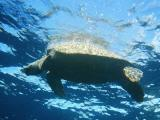 Green turtle on the surface