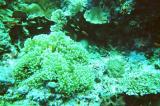 Anenome & anenomefish