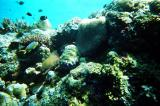 Moray eel in the coral