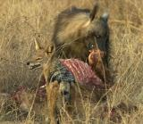 Tau -  Brown Hyena and Jackal on baby giraffe kill