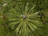 Pine.jpg(125)
