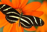 Striped Wings on Orange Flower