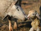 new March lamb