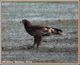 Greater Spotted Eagle (Aigle criard)