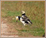 Black-collared Starling (Étourneau à cou noir)