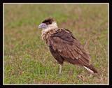 Crested Caracara (Juvenile)