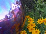 Gazing ball  and Copper Canyon Daisies