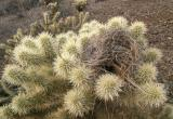 Nest in the Cholla