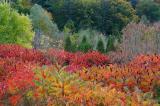 Red Sumac and Cedar.jpg