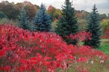 Red Sumac and Pine.jpg