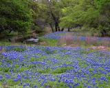 Bluebonnet Meadow