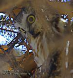 Saw-whet Owl  5186