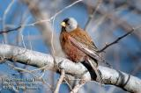 Gray-crowned Rosy finch 5121