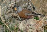 Gray-crowned Rosy Finch 5075