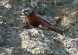 Gray-crowned Rosy Finch 5017